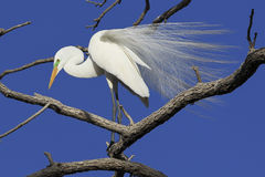Great egret in mating plumage Royalty Free Stock Photo
