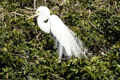 Great Egret Mating Season Display Royalty Free Stock Images