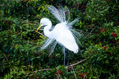 Great Egret Mating Season Display Stock Photography