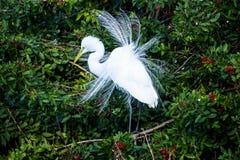 Great Egret Mating Season Display Stock Photography