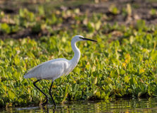 Great Egret. In morning light royalty free stock photo