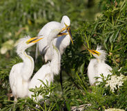 Great Egret in the morning sun Royalty Free Stock Photography