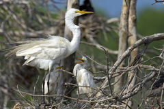 Great Egret Mother and Chicks Stock Images