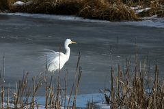 Great Egret in the nature reserve. A Great Egret in the nature reserve Royalty Free Stock Photo