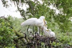 Great Egret Nest Stock Photo