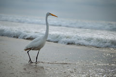 Great Egret in the ocean surf Stock Image
