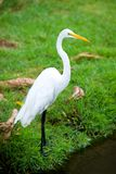 Great Egret On The Background Of A Green Grass Stock Photography