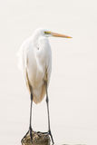 The Great Egret Royalty Free Stock Photos
