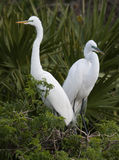 Great Egret Pair Royalty Free Stock Images