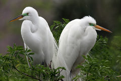 Great Egret Pair. Closeup of a Great Egret pair in breeding plumage against a blurred background royalty free stock photos