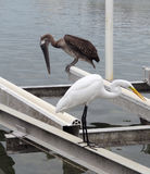 Great Egret and Pelican Stock Photo