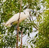 Great egret perched on a branch Royalty Free Stock Photography