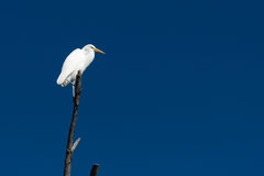 Great Egret Perched On Branch Royalty Free Stock Images