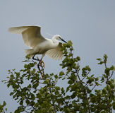Great egret perched on a branch. In the tree Royalty Free Stock Image