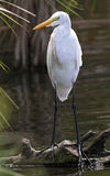 Great Egret Perched on Fallen log Royalty Free Stock Photos