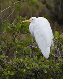 Great Egret Perched in a Mangrove - Florida Royalty Free Stock Photography