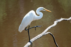 Great Egret. Perched and preening feathers on small pond in Monroe Georgia Royalty Free Stock Photography