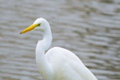 Great Egret Perched on a Water's Edge. Great Egret Perched on the Water's Edge. Rare picture as the bird is looking at the camera Stock Photos