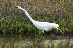 Great Egret. Photographed  in Seabrook Texas food hunting in shallow bay Stock Image