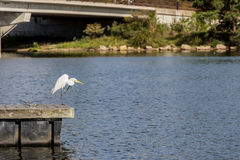 Great Egret on a Pier Stock Photos