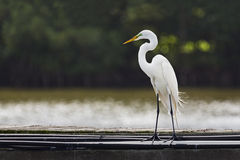 Great Egret on Pier Stock Images