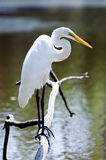 Great Egret on pond branch, Walton County, Georgia Royalty Free Stock Photo