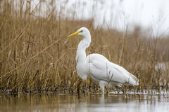 Great Egret in the pond Royalty Free Stock Photos