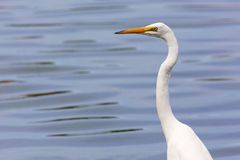 Great Egret Portrait Stock Image