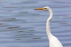 Great Egret Portrait Stock Image