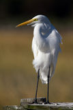 Great Egret Portrait. A great egret perched on a wooden structure Royalty Free Stock Photography
