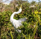 Great Egret Posturing in Breeding Plumage Royalty Free Stock Image