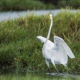 Great egret in Pottuvil, Sri Lanka Stock Image