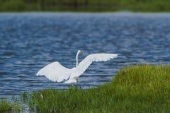 Great egret in Pottuvil, Sri Lanka Stock Photo