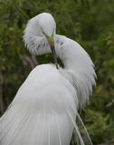 Great Egret preening Royalty Free Stock Images