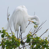 Great Egret Preening its Feathers Stock Image