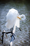 Great Egret Preening. Preening Great Egret perched over small fishing pond in Monroe Georgia Royalty Free Stock Photography