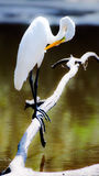 Great Egret Preening. White Great Egret perched over small pond in Monroe Georgia preening feathers Royalty Free Stock Photo