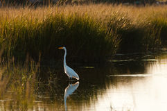 Great Egret Queens. Great Egret Ardea alba wading in shallows, Queens, New York Royalty Free Stock Photography