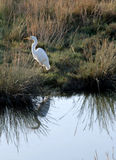 Great Egret with Reflection Stock Image