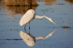 Great Egret Reflection Fishing. A great egret reflected in shallow water while fishing Royalty Free Stock Images