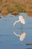 Great Egret Reflection Fishing Stock Photography