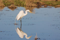Great Egret Reflection. A great egret reflected in shallow water while feeding Stock Image