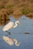 Great Egret Reflection. A great egret reflected in shallow water while fishing Royalty Free Stock Images