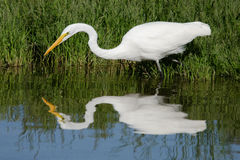 Great Egret Reflection. A great White Egret reflected in a marsh pond Stock Image