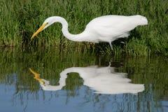 Great Egret Reflection Stock Image