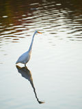 Great Egret Reflections Stock Images
