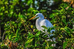 Great egret resting on a branch in Florida, USA. Great egret resting on a branch Royalty Free Stock Photo