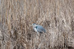 A Great Blue Heron resting in marsh grass stock image