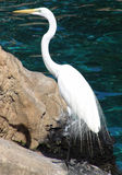 Great Egret on rock Royalty Free Stock Image