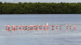 Great Egret and Roseate Spoonbills, J.N. Ding Darling Nation. Great Egret & x28;Ardea alba& x29; and Roseate Spoonbills & x28;Platalea ajaja& x29;, J.N. Ding Stock Image